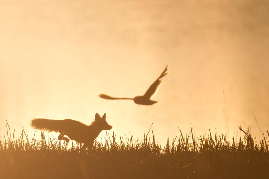 red fox flushing a shorteared owl nome alaska june
