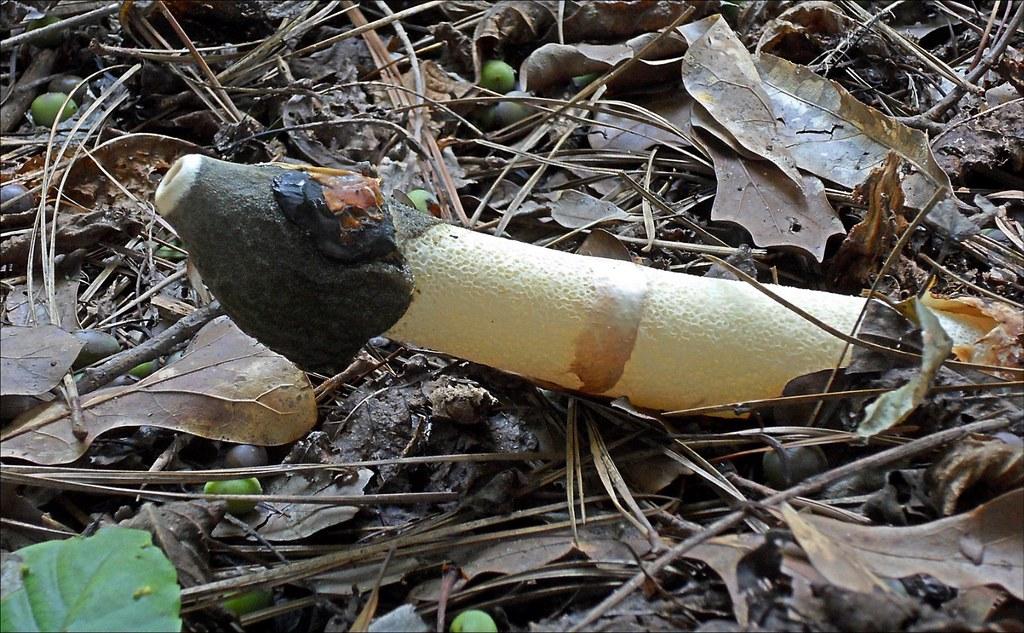 Penis Envy Mushroom* / Marietta, GA - August 23, 2013