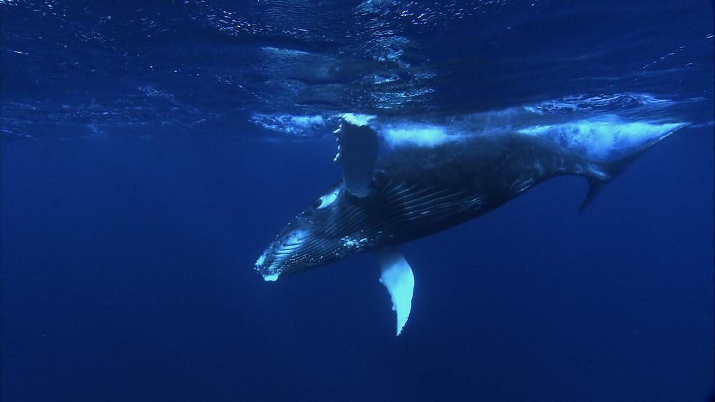 Atlantic Humpback Whale Migration Near Virginia Beach Va