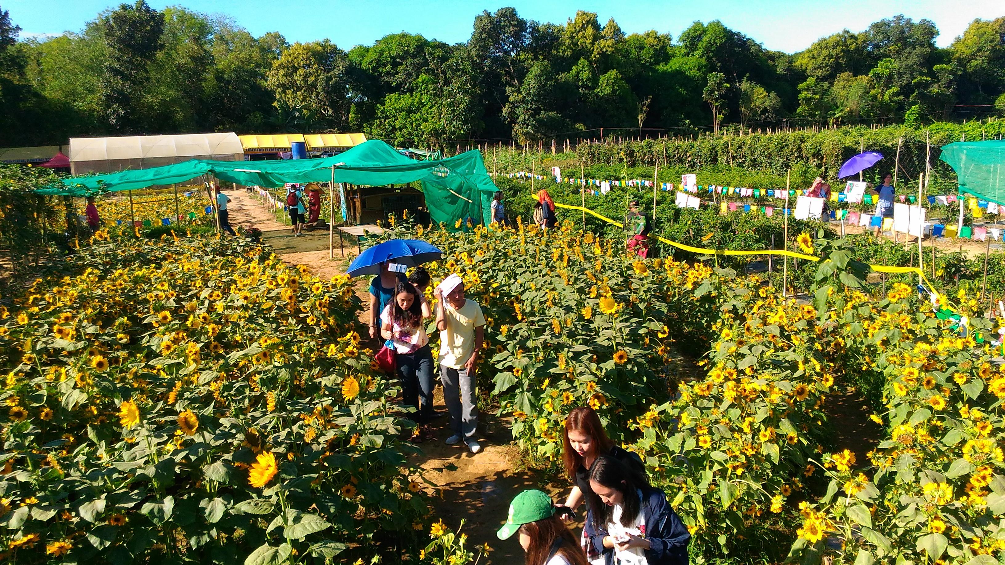 sunflower maze_2017_5