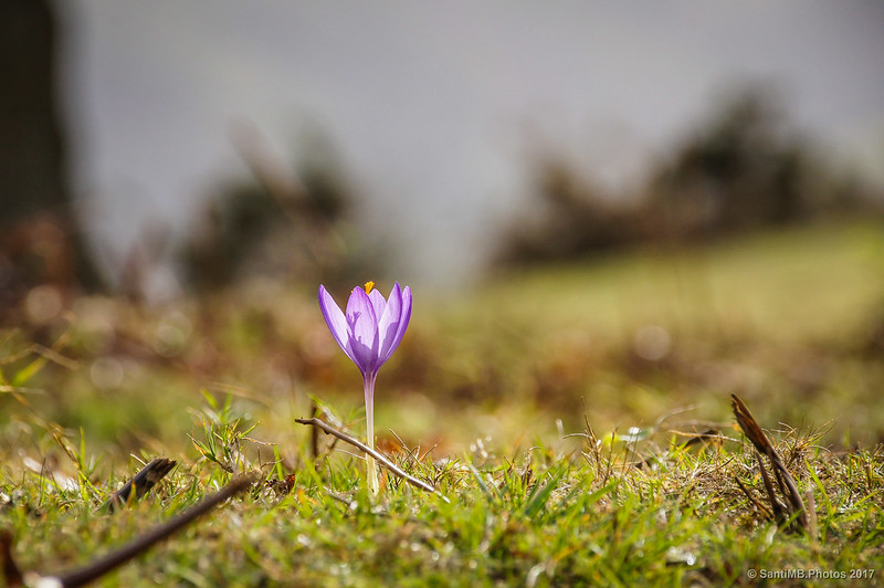 Flor de Crocus