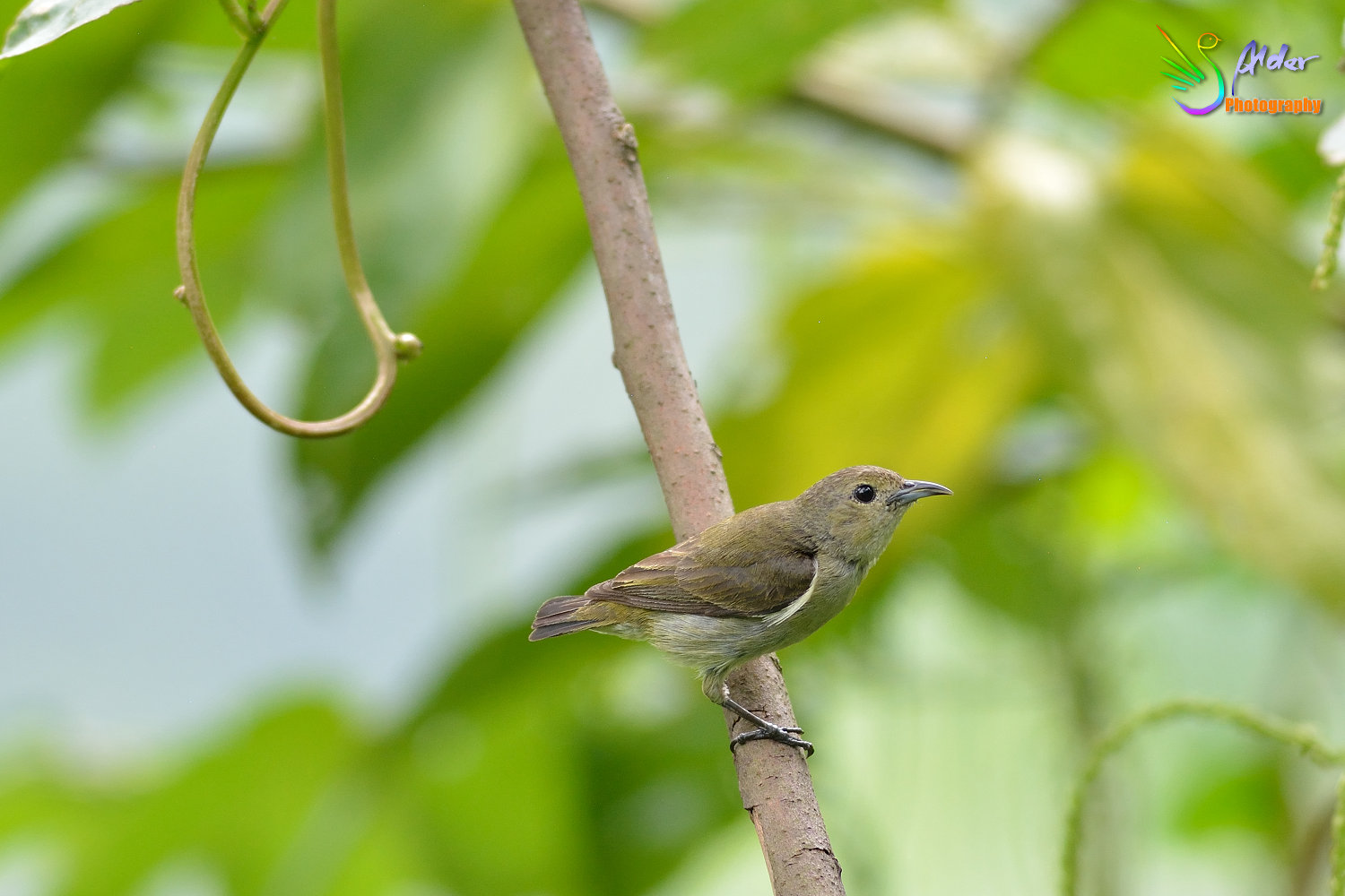 Plain_Flowerpecker_5593