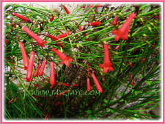 Showy flowers of Russelia equisetiformis (Firecracker Plant, Coral Fountain/Plant, Fountain Plant, Coralblow), 8 Feb 2016