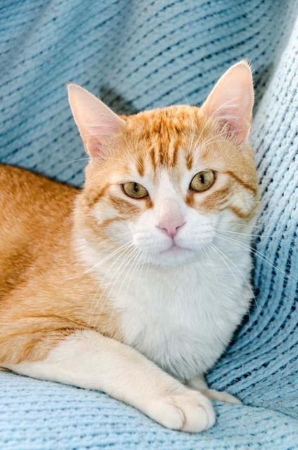 Robin, gato blanco y naranja guapo y súper dulce esterilizado, +inmunodeficiencia nacido en Marzo´15, en ADOPCIÓN ESPECIAL. Valencia. ADOPTADO. 33840336292_c9b94ebfe0_z