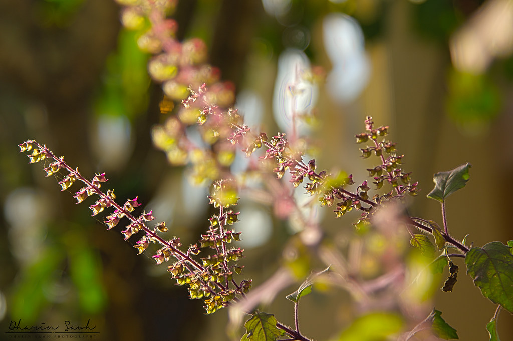 Tulsi Plant Images Tulsi Plant Flickr Photo