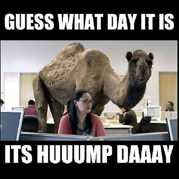 Image Gallery happy hump day camel