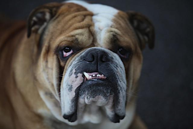 Bulldog Anglais - Braderie de Lille