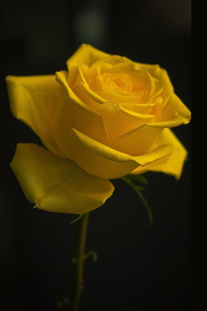 The yellow rose of texas in search of the yellow rose of flickr the yellow rose of texas by big grey mare mightylinksfo