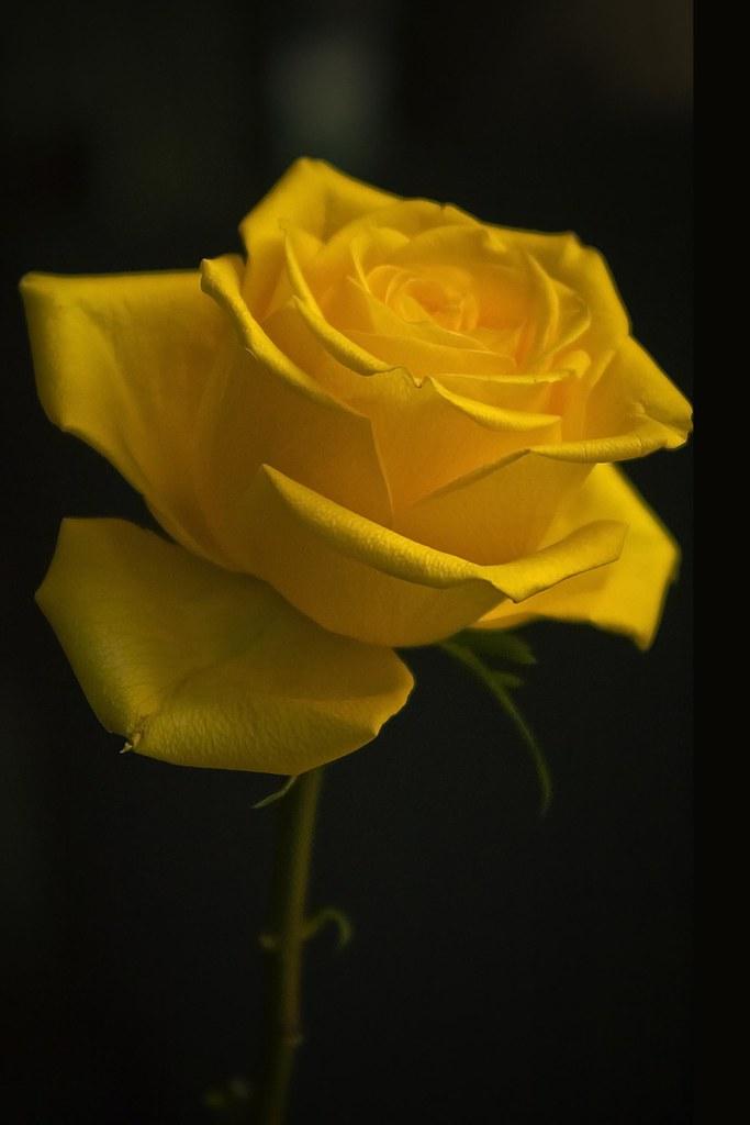 Lyrics for yellow rose of texas