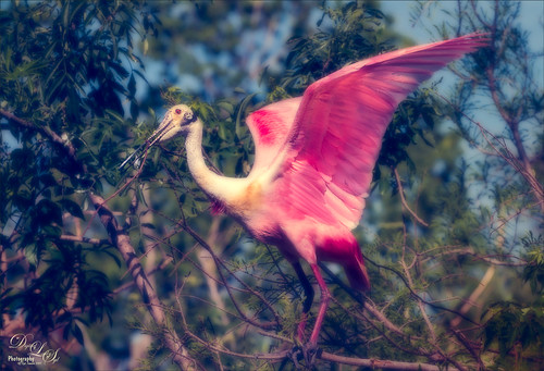 Image of a Roseate Spoonbill at the St. Augustine Alligator Farm Rookery