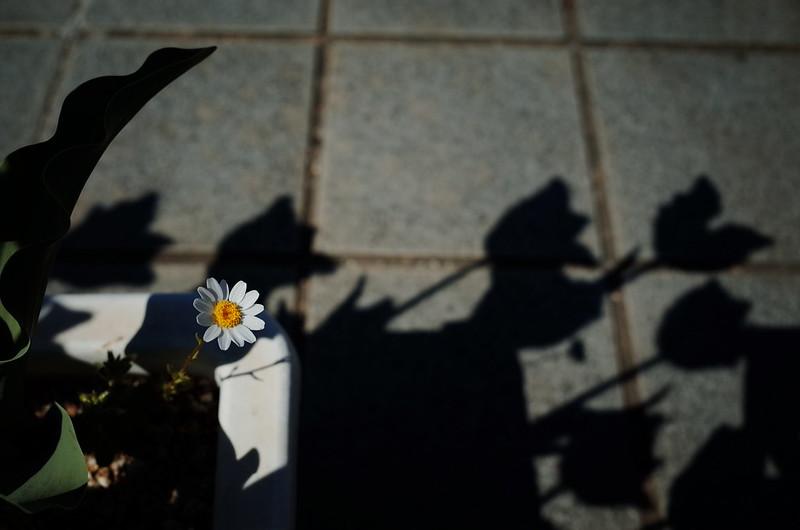 チューリップ花壇のマーガレット