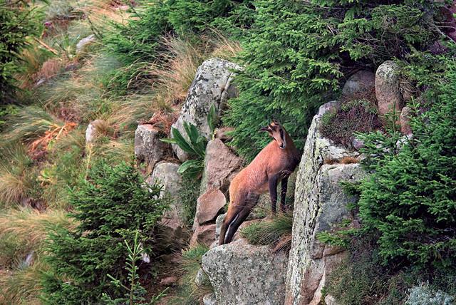 Το Βαλκανικό Αγριόγιδο, βασικό στοιχείο της πανίδας της οροσειράς της Ροδόπης!