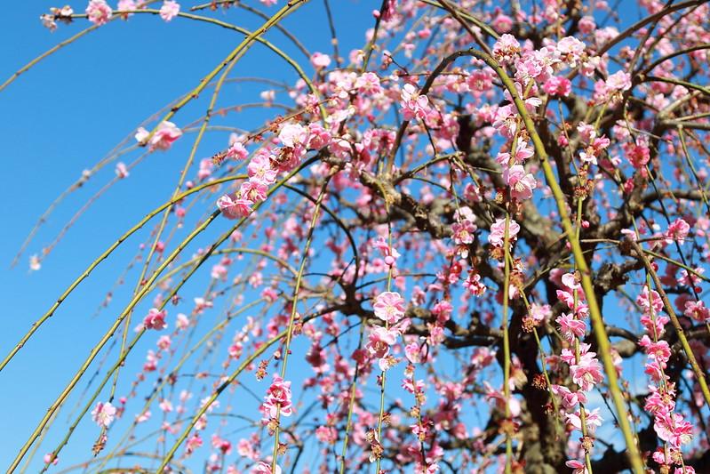 しだれ梅|weeping Japanese apricot