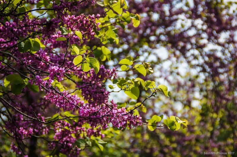 Un árbol del amor en flor