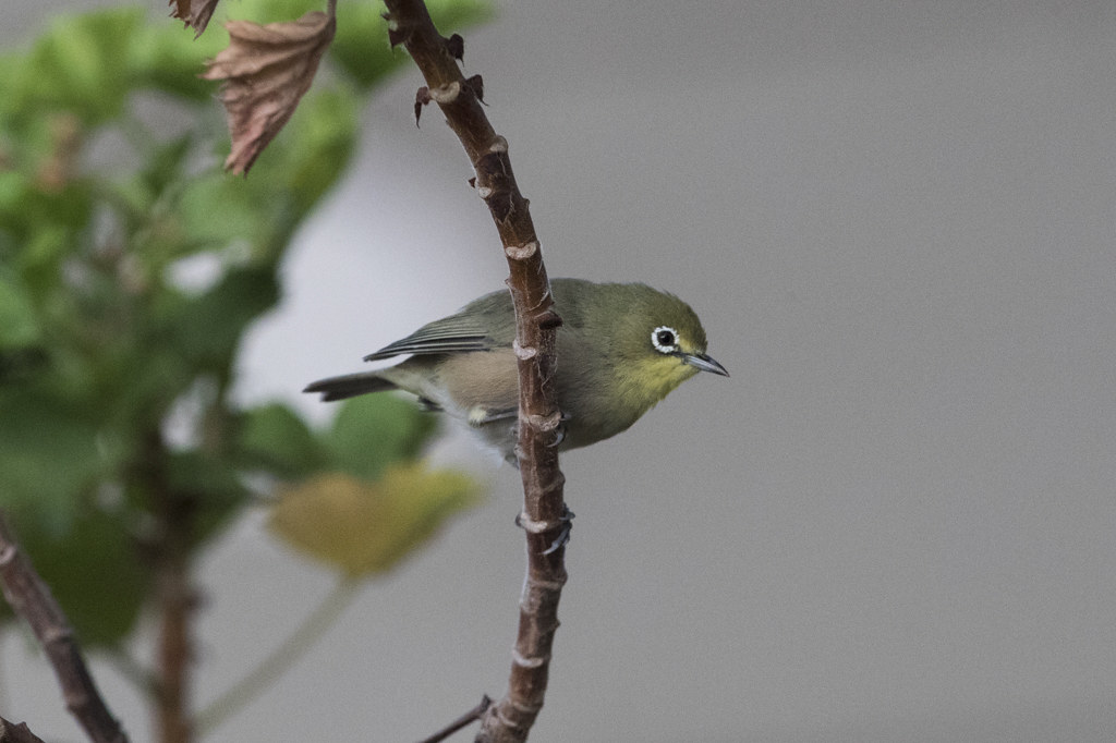 Orange River White-eye  Zosterops Pallidus