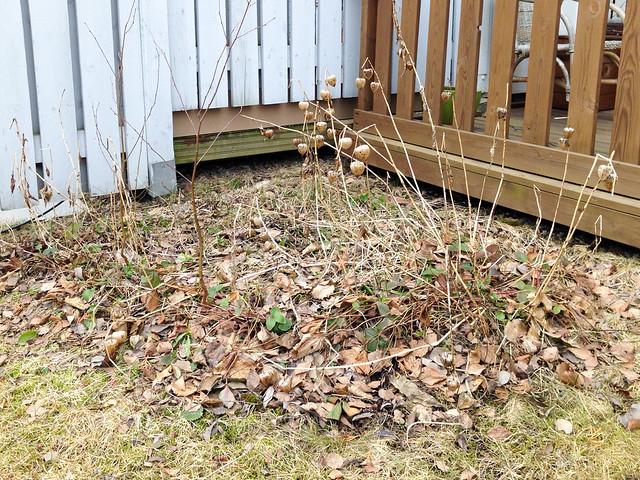 Puutarhan kevätseuranta kukkapenkin siivous. Valokuvaaja: Markus Kauppinen