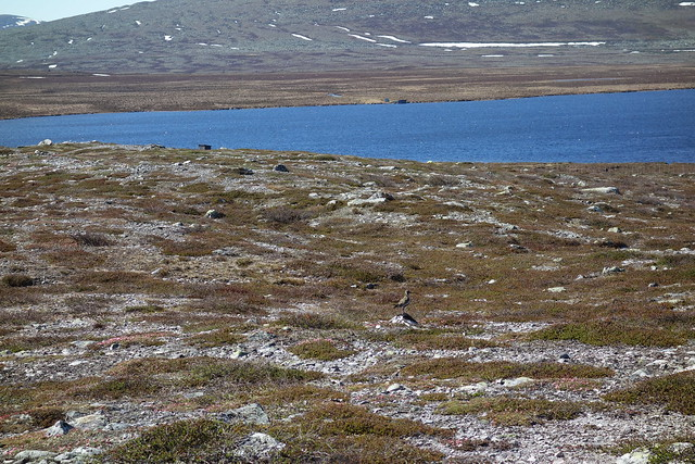 Ljungpipare - European golden plover at Grötvallsjön