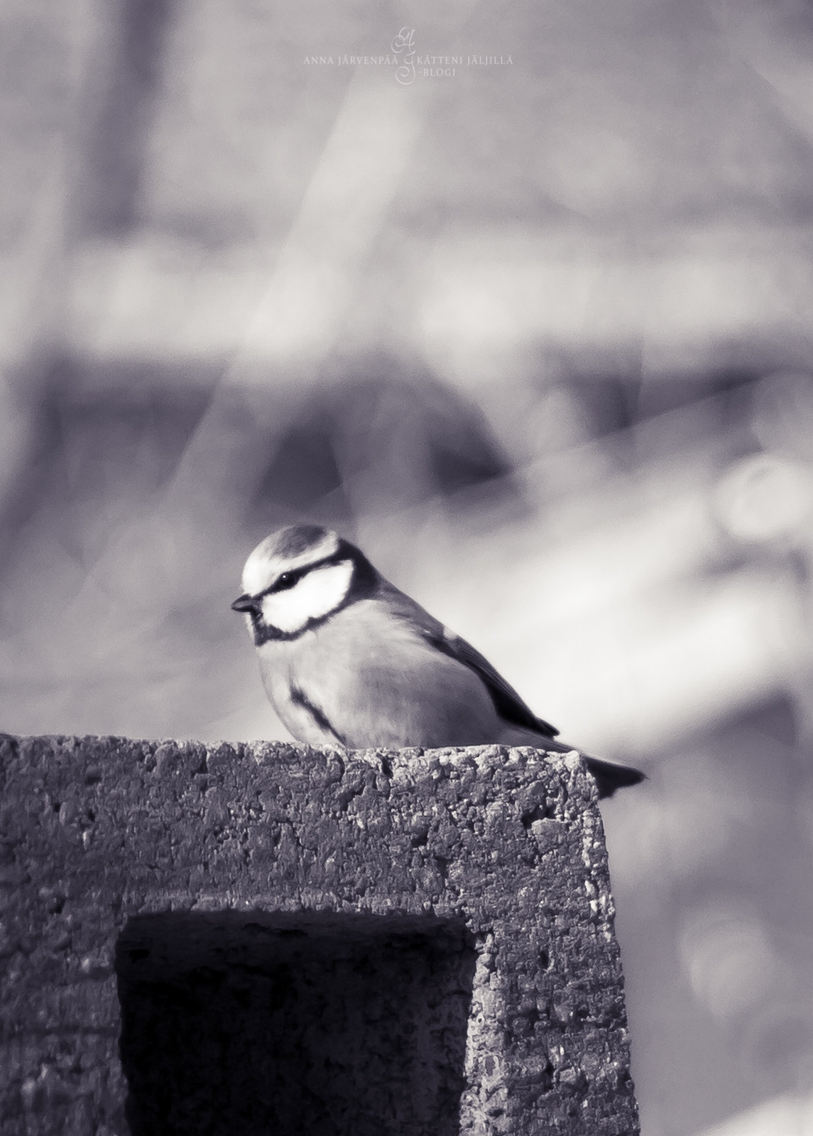 Blue tit in monochrome