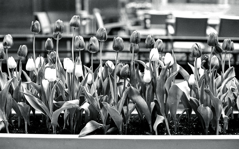 Black and White Tulips_