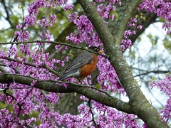 Robin in redbud