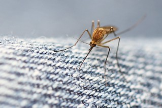 Mosquito on my pants! | by photochem_PA