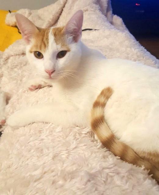Gary, gatito blanco y naranja cruce Van Turco esterilizado muy activo nacido en Julio´16, en adopción. Valencia. ADOPTADO. 33046654564_2191f56a83_z