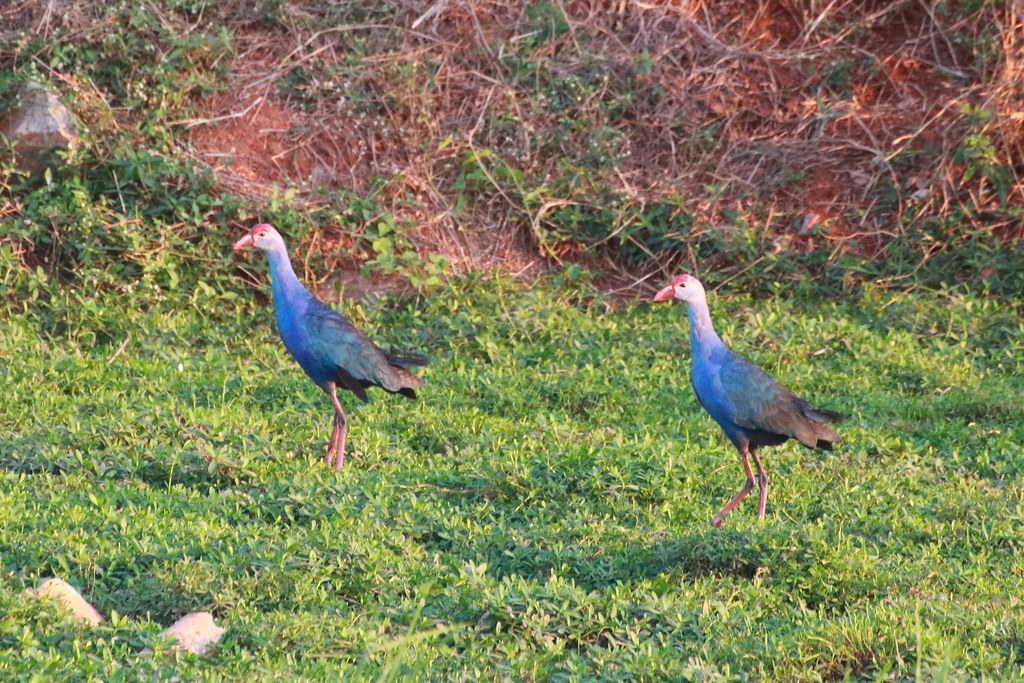 Purple swamphens