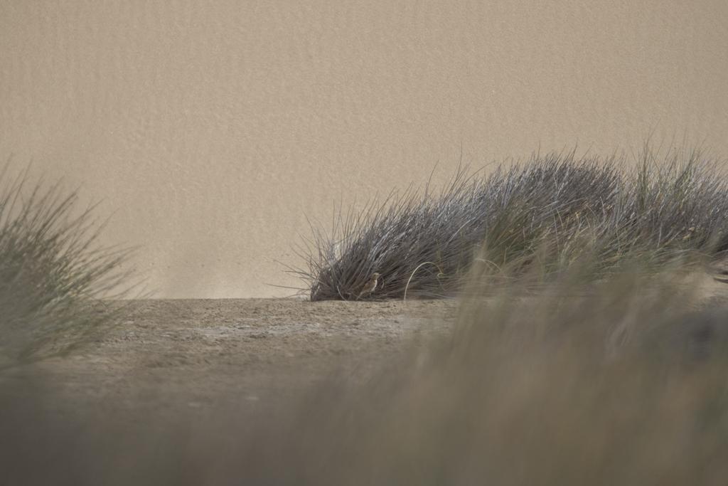 Dune Lark Calendulauda Erythrochlamys
