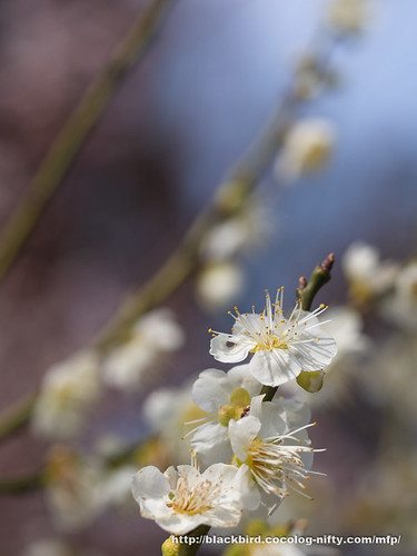 Plum blossoms 20170322 #02