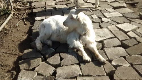 goats on paving Mar 17 3