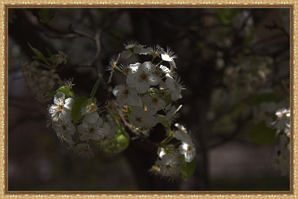 un poco de luz del sol sobre las flores de un peral