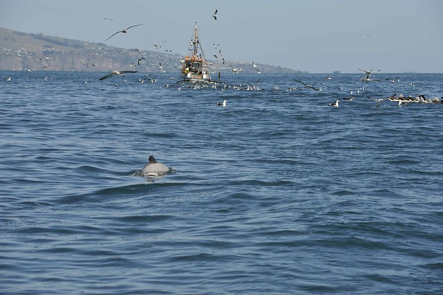 Hectors dolphin ahead of a fishing trawler