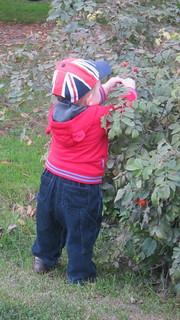 Ruusunmarjoja poimimassa