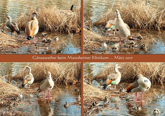 Universitäts Medizin Mannheim (UMM), vormals Klinikum ... Parkanlage mit Weiher ... Nil-Gänse, Kanada-Gänse ... März 2017 ... Fotos: Brigitte Stolle