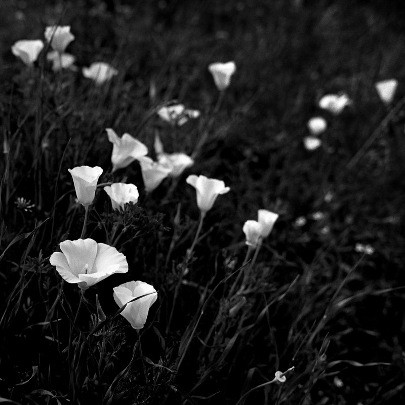 Monochrome Poppies II