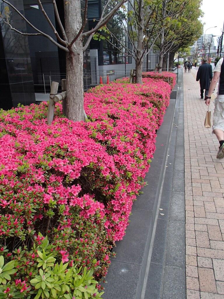 Azalea vid Tokyo Dome city