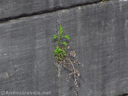Lone plant in the wall of Lock 60 at the Lock 60 Historic Park near Macedon and Palmyra, New York