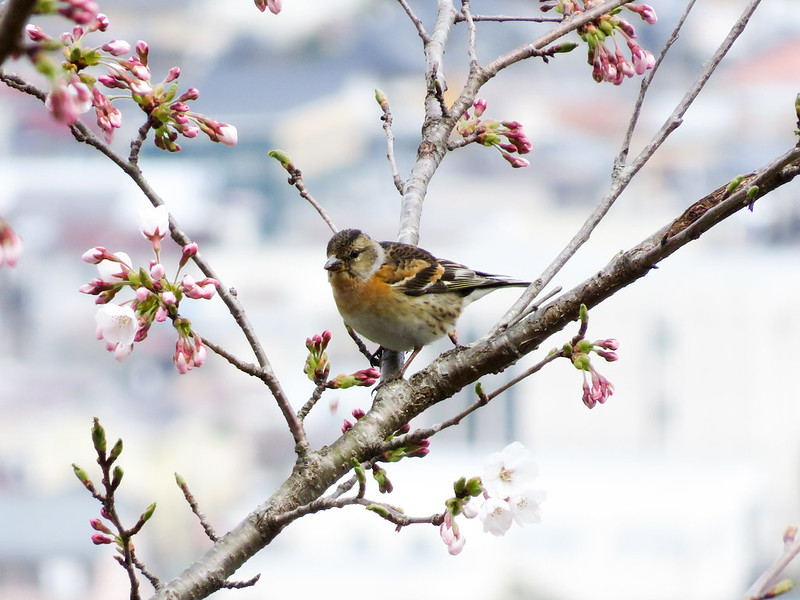 Brambling. Female