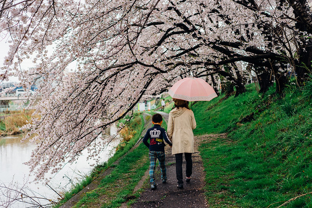 CherryBlossoms_16
