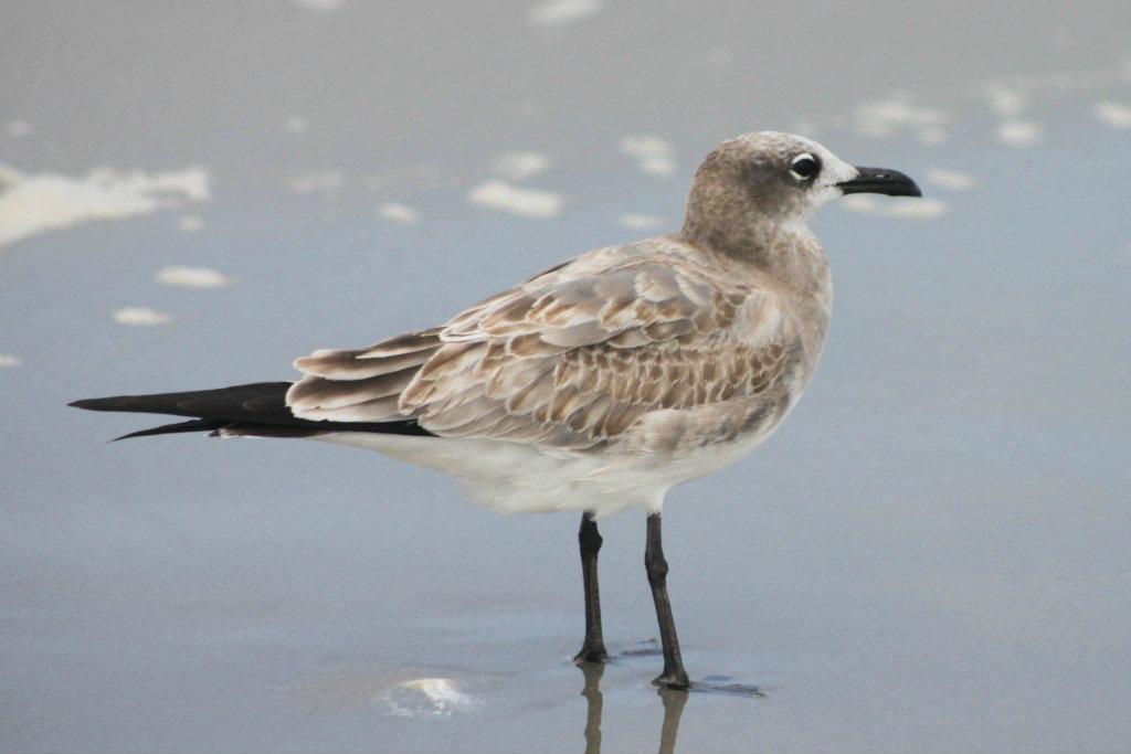 Female seagull - photo#29
