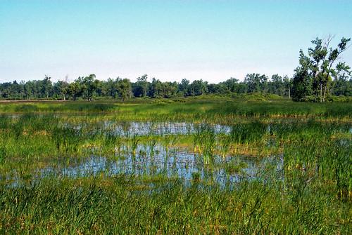 Emergent marsh