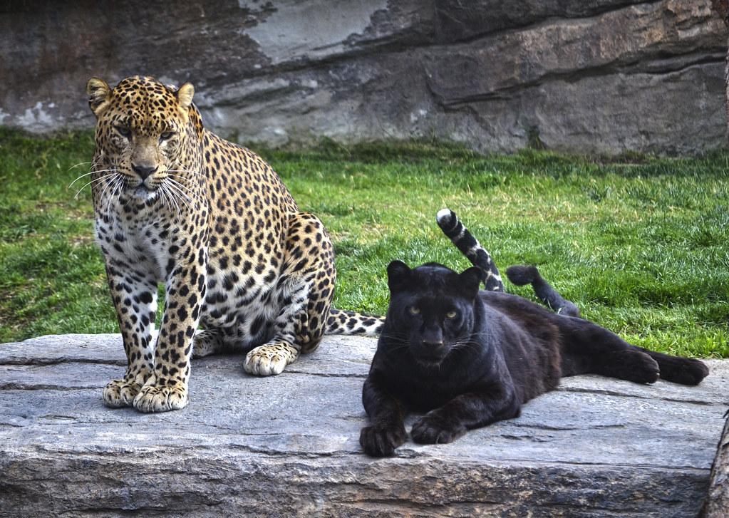 leopardo amarillo y leopardo negro