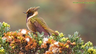 ENDEMIC, Buffy Helmetcrest, Oxypogon stubelii,  Parque Nacional Natural Los Nevados, Birding tour central andes (Colombia) | by OSWALDO CORTES -Bogota Birding and Birdwatching Co
