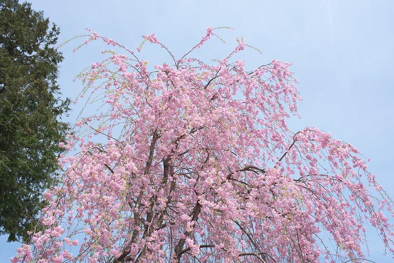 川越お花見散歩
