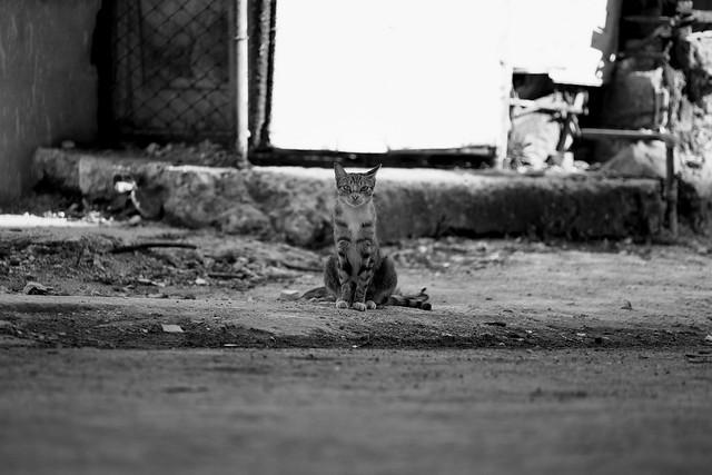 Cuba_Cats_001