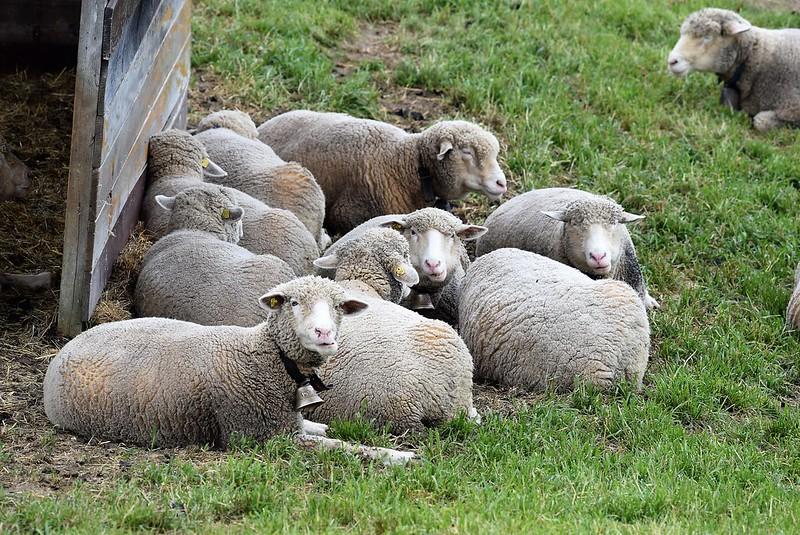 Sheep 17.04 (2)