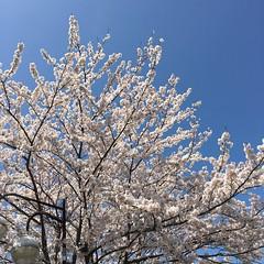 4月12日の桜