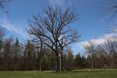 IMG_10064_Old_Tree