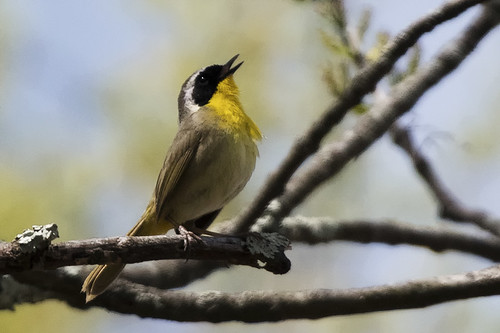 Princeton, N.J.: Common Yellowthroat Sings About Early Spring