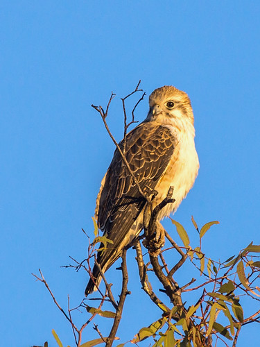 Brown Falcon (Falco berigora) | Kilcowera Station, via ...